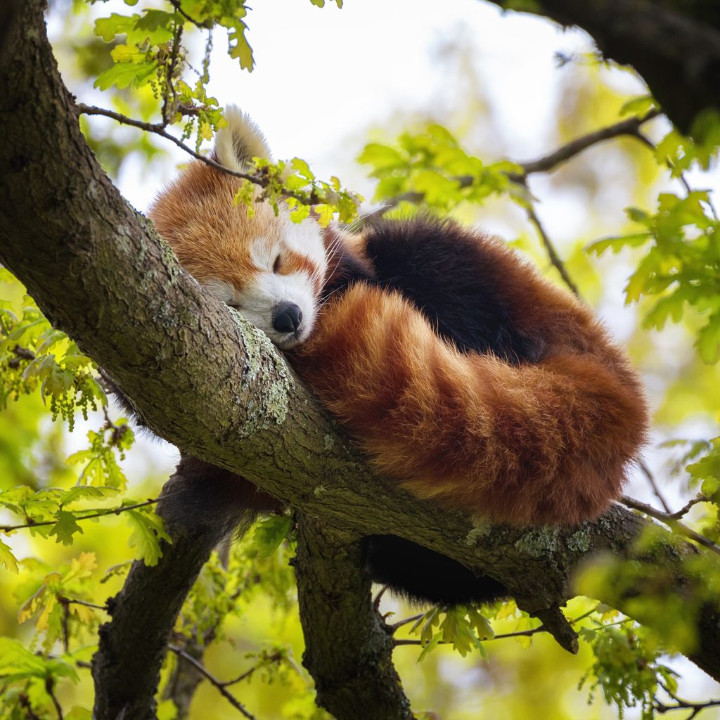 Panda-Rosso-sullalbero.jpg.a416c16821c476d0f6a864788601c4ba.jpg
