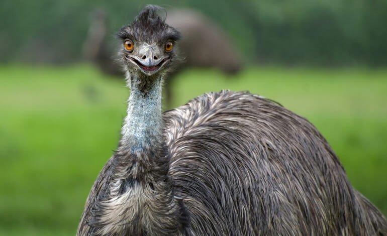 Emu-770x470.jpg.f8f8112ebbd108ed0cc4b3a774a26ff0.jpg