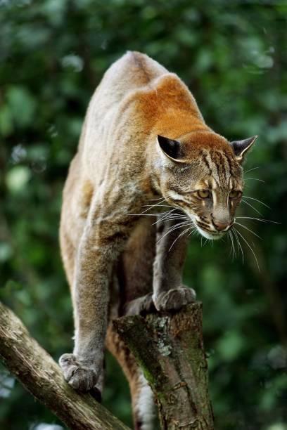 asian-golden-cat-or-temminks-cat-catopuma-temmincki-adult-picture-id1256986998.jpg.4a8b8ac80addee4dc3f904bc6f4e98bf.jpg